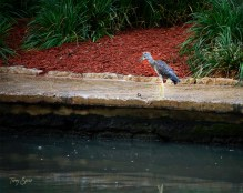 juvenile yellow crowned night heron on Riverwalk San Antonio 1000 235