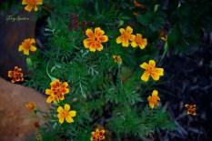 marigolds 1000 033
