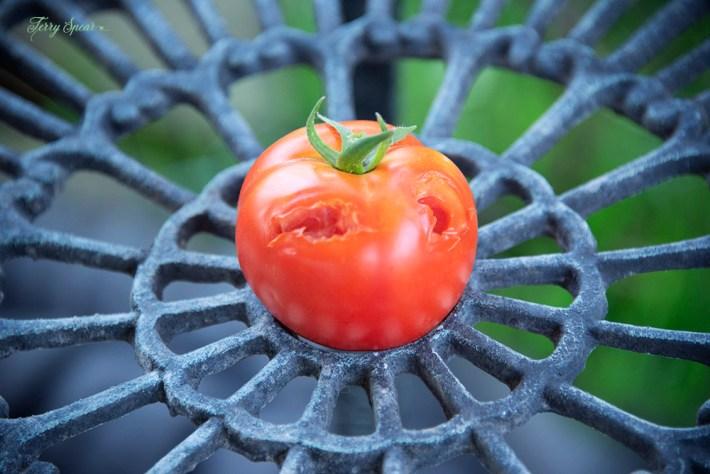 tomato bird attacked jack-o-lantern 003