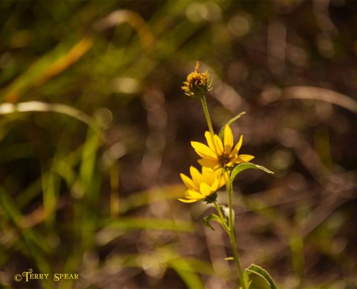 yellow flower 900 wetlands 247
