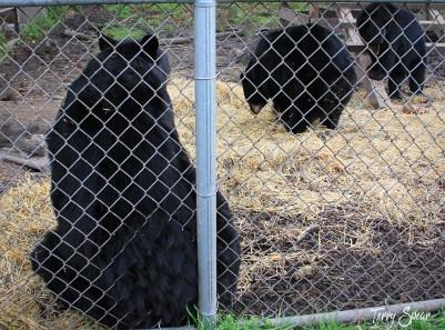 3 moving bears 1000
