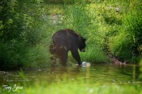 Black Bear Tasha 1000 at the pond 1569