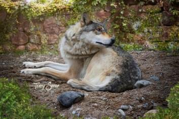 Boltz gray wolf Ely 1000 wall minnesota sunlight moss 084