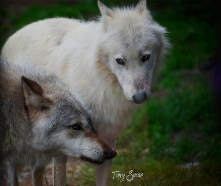 Denali and Grayson having a showdown International Wolf Center, Ely minnesota 1000 114