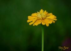 yellow zinnia home 1000 576