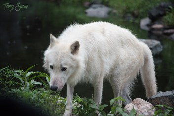 Axel, dominant 2 year old male Arctic wolf 104