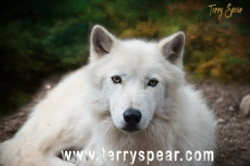 Axwl Actic wolf 1000 background profile Minnesota 662