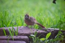 baby cardinal 1000 009
