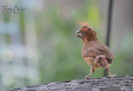 baby cardinal1 1000 004