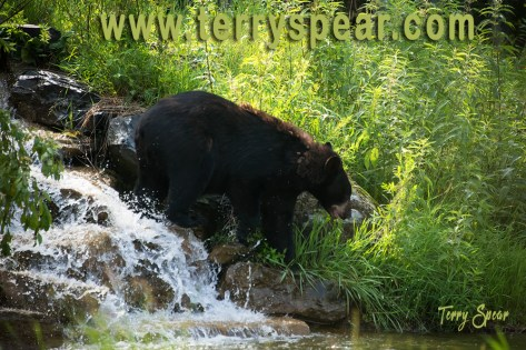 black bear Holly 1000 waterfall Minnesota 1558