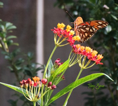 frittelary butterfly 1000 035