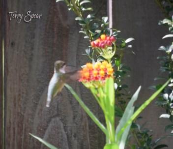 hummingbird 1000 001
