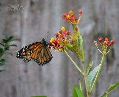 monarch butterfly 1000 006