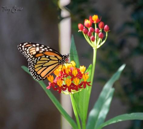 monarch butterfly 1000 069