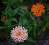 pink and orange giant zinnia 1000 027