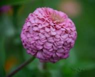 pink puff zinnia 1000 045