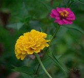 yellow and pink zinnia 1000 040