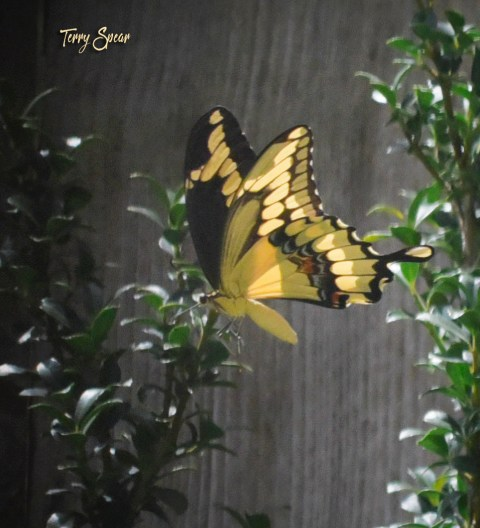 yellow swallowtail flying away 1000 028