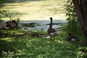 Geese by pond Arboretum 1000 Minnesota 169