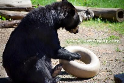 Holly Black bear and inner tube of food 1000 Minnesota 2642