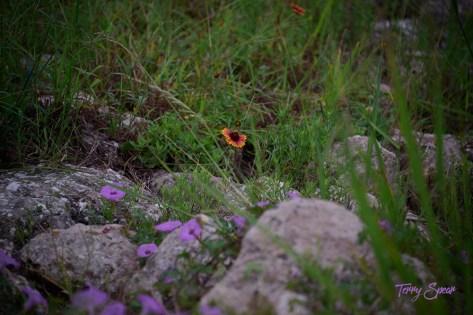 blanket flower wildflower 1000 021