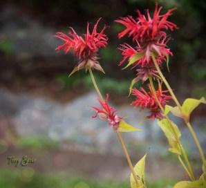 red flowers 1000 Minnesota 1303
