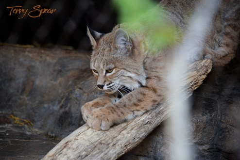 bobcat scratching on wood 1000 814