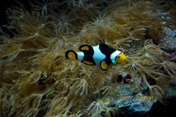 clown fish 1000