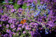 monarch, purple and blue flowers 1000 946