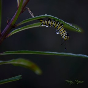 caterpillars in stasis water drops 1000 001
