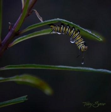 caterpillars in stasis water drops 1000 001