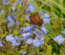 gulf fritillary butterfly on blue flowers closeup 900 062