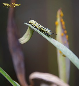 monarch caterpillars 1000 003
