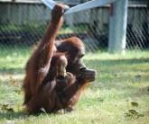 orangutan momma and baby 1000