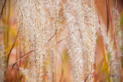 ornamental grass in fall 1000 451
