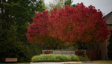 bradford pears in fall colors 1000