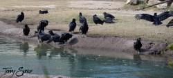 vultures 1000