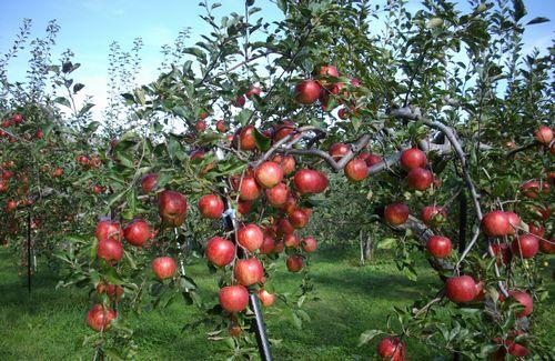 木村農園の「奇跡のリンゴ」は無農薬