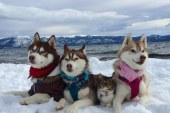 Kotelja adoptohet nga familja e qenushëve, tani ajo mendon se është një husky