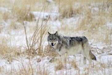 Ujku i egër gjerman kthehet pas një shekulli në Belgjikë