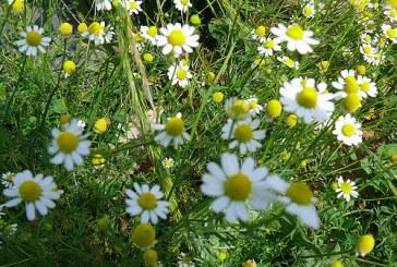 Disa lule dekorative që mund t'i hani ose t'i përdorni në gatime