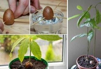 Si ta rrisni në shtëpi në një vazo të vogël me avokado