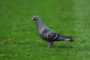 Rekord në Belgjikë: Pëllumbi shitet për 1.4 milion dollarë në një ankand online