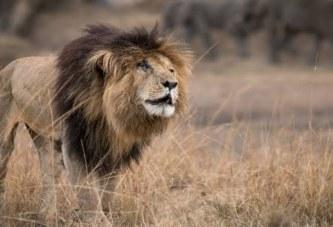 Shuarja e një mbreti: pse luani më i famshëm në botë u quajt Scarface