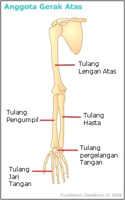Tulang Hasta Dan Pengumpil : tulang, hasta, pengumpil, Gerak, Tessadestyc