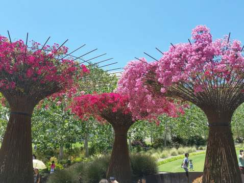 Bougainvillea Trees