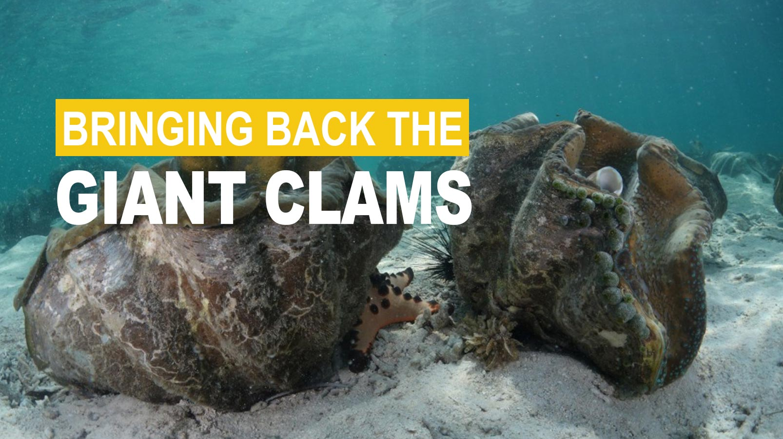 bringing back the giant clams