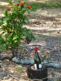 I was surprised by this wine bottle sitting in the middle of the garden where I was visiting. Interesting? I asked my friend who lives on the property with her daughter and she said she had no idea? Perhaps a good place to sit and have a wine in the garden?