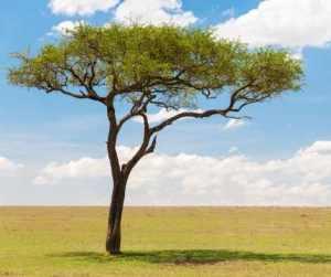 Magical Metaphysical Healing Properties of Trees - Acacia