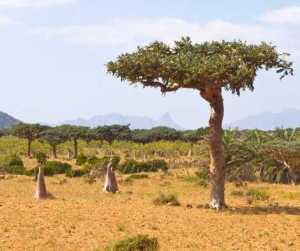 Magical Metaphysical Healing Properties of Trees - Myrrh